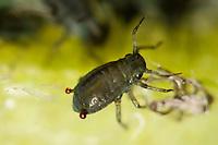 Blattlaus, Blattläuse, sondert Abwehrsekret aus Siphonen am Hinterleib aus