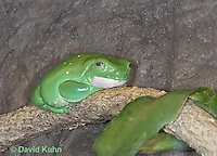 "1217-07rr  Mexican Dumpy Frog - Padaymedusa dacnicolor ""Mexico"" - © David Kuhn/Dwight Kuhn Photography."