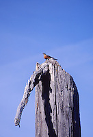 Bird on Standing Dead Tree, Mt. St. Helens National Volcanic Monument, Washington, US