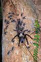 Arboreal tarantula (Lampropelma sp.) female guarding spiderlings at entrance to hollow  retreat, 4 metres up a tree. Danum Valley, Sabah, Borneo. June.