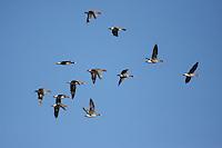 Blässgans, Flug, Flugbild, fliegend, Schwarm, Trupp, Bläss-Gans, Blessgans, Bläßgans, Bläß-Gans, Bleß-Gans, Gans, Anser albifrons, white-fronted goose