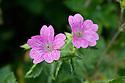 Geranium x oxonianum 'Lutzie', end June.