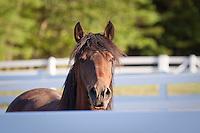 Bay Lusitano stallion