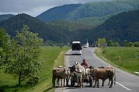 ROMANIA Transylvania, horse wagon and cattle on the road  / RUMAENIEN Transsilvanien Siebenbuergen, Pferdewagen und Rinder auf der Strasse