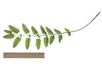 Großer Wiesenknopf, Groß-Wiesenknopf, Sanguisorba officinalis, Sanguisorba major, Sanguisorba maior, Great Burnet, la grande pimprenelle, la sanguisorbe officinale. Blatt, Blätter, leaf, leaves