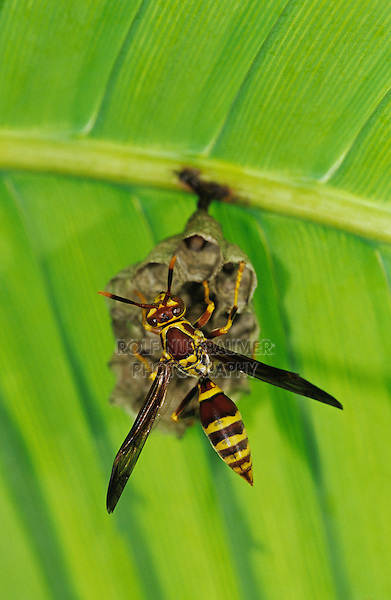 Paper Wasp, Polistes sp., adult on nest under Palm Frond, Cameron County, Rio Grande Valley, Texas, USA