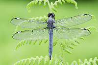 A dew-covered male Spangled Skimmer (Libellula cyanea) perches in the early morning.