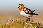 Red-necked Stint (Calidris ruficollis) on its Russian breeding grounds. Chukotka, Russia. June.