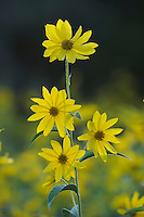Maximilians Sunflower (Helianthus maximilianii), blooming, Comal County, Hill Country, Central Texas, USA