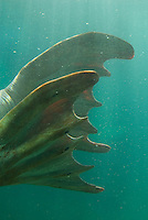 Walrus (Odobenus rosmarus).(Point Defiance Zoo & Aquarium, Tacoma, WA)