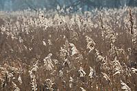 Gewöhnliches Schilf, Schilf, Rohr, Schilfrohr, Schilfgebiet, Schilfgürtel, Röhricht, Phragmites australis, Phragmites communis, Reed, Reed Grass, Roseau