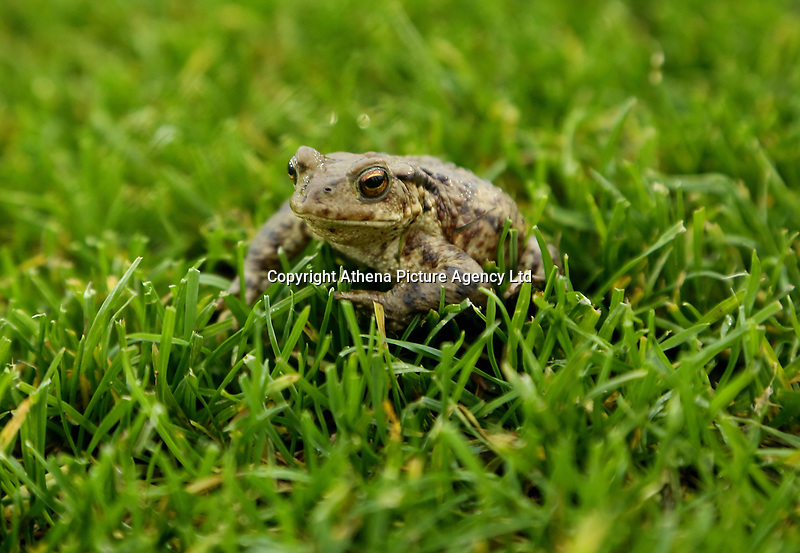 A frog rests on the grass of one of the training pitches during the Swansea City Training at The Fairwood Training Ground, Swansea, Wales, UK. Wednesday 22 November 2017