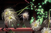 Clematis seedheads fluffy