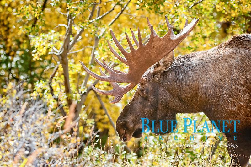 A bull Moose (Alces alces), portrait, Alaska