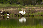 Trumpeter swans on a wilderness lake