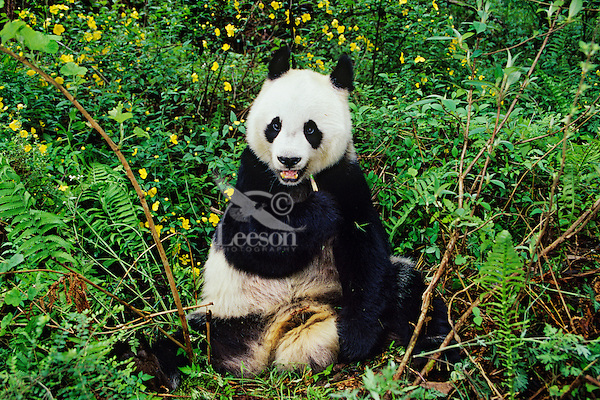 Giant Panda (Ailuropoda melanoleuca) eating bamboo among ferns in bamboo forest of central China.