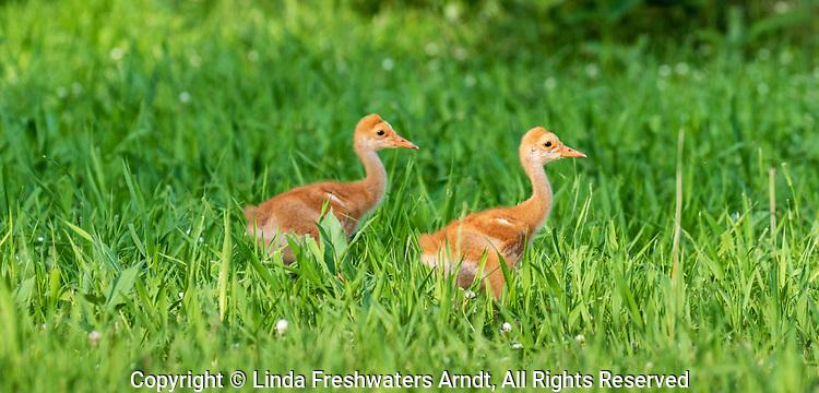 Sandhill chicks feeding in a northern Wisconsin field.