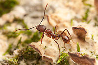 A Spine-waisted Ant (Aphaenogaster fulva) explores the fungus and moss covered surface of a fallen dead tree.