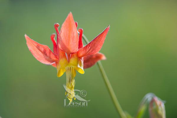 Crimson Columbine or Western Red Columbine (Aquilegia formosa). Common Pacific Northwest wildflower. May-June.