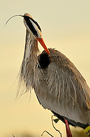 Great Blue Heron preening on the nest