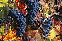 CABERNET GRAPES ripening on the VINE - MONTEREY COUNTY, CALIFORNIA.