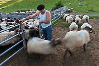 Europe/France/Aquitaine/64/Pyrénées-Atlantiques/Pays-Basque/Aussurucq: Aprés la traite au cayolar ean-Paul Erdozainy Etchart , berger, relache son troupeau de brebis en estive dans les paturages d'Ahusquy [Autorisation : 2011-129] [Autorisation : 2011-128]
