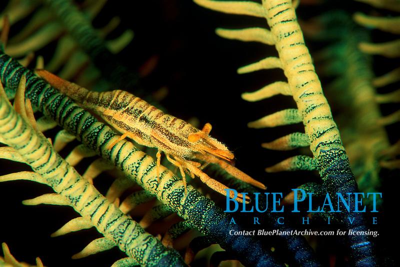 Periclimenes commensalis, Onemoba'a, Tomia, Kepulauan Wakatobi National park, Southeast Sulawesi, Indonesia, Banda Sea, Indian Ocean