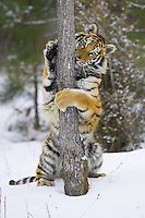 Siberian Tiger (panthera tigris altaica) standing beside a tree with its front paws wrapped around the tree trunk near Kalispell, Montana, USA - Captive Animal