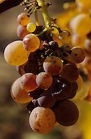"""Europe/Hongrie/Tokay/Env Sarospatak/Pajzos: Les vignes - Cépage """"Harslevelu"""" - Grappes de raisins blancs botrytisées"""
