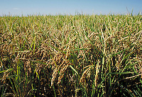 close-up of rice field showing grain on plants. food, grains, crop, crops, agriculture, agribusiness, brown rice. Williams California, Sacramento Valley.