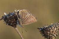 Silbergrüner Bläuling, Silberbläuling, Silber-Bläuling, Weibchen, Insekt des Jahres 2015, Polyommatus coridon, Lysandra coridon, Chalkhill Blue, female, Lycaenidae, Bläulinge