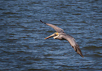 Brown Pelican flying low over water with wingtip almost touching water