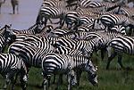 A herd of Burchell's zebras graze in Kenya.
