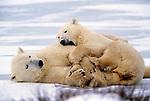Polar bear plays with second year cub, Churchill, Manitoba, Canada