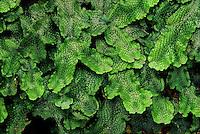 A thallose liverwort, Conocephalum salebrosum (used to be Conocephalum conicum). Hocking County, Ohio, USA.