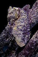 seahorse, Hippocampus kuda, Papua New Guinea, (Pacific Ocean).