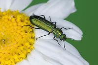 Wollhaarkäfer, Psilothrix viridicoeruleus, Psilothrix viridicoerulea, Dasytidae, Melyridae, soft-winged flower beetles