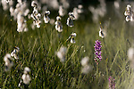 Broad-leaf Marsh Orchid (Dactylorhiza majalis) growing amongst cotton sedge / grass (Eriophorum sp.). Nordtirol, Tirol, Austrian Alps, Austria, 1800 metres, July.