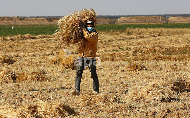 A Palestinian farmer harvests wheat at a field in an area adjacent to the border with Israel, in Khan Younis in the southern Gaza Strip on May 02, 2021. Wheat is a grass widely cultivated for its seed, a cereal grain which is a worldwide staple food. The unemployment rate was about 16% in the West Bank in 2020 compared with about 15% in 2019, while the unemployment rate was about 47% in Gaza Strip in 2020 compared with 45% in 2019. Photo by Ashraf Amra
