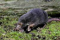 MB01-004x  Star-nosed Mole - adult searching for food - Condylura cristata