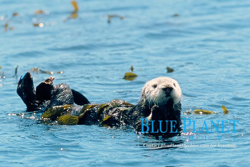 California Southern sea otter, Enhydra lutris nereis, endangered species, resting in kelp, Monterey Bay National Marine Sanctuary, California, North East Pacific Ocean