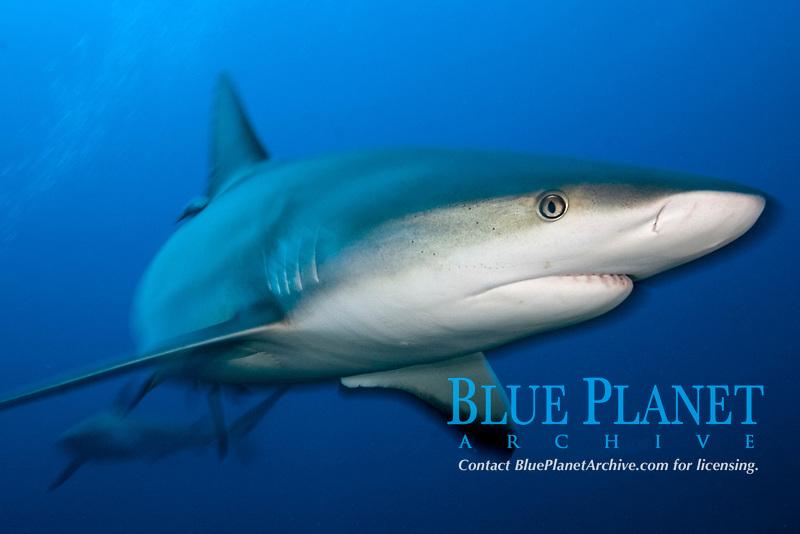 Carribean reef shark, Carcharhinus perezii, in the Bahamas, Caribbean, Atlantic