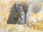 Squirrel in snow eating cracked corn.