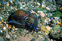 Southern Dumpling Squid, Euprymna tasmanica, A dumpling squid found in only 1 meter of water scurrying along the bottom, , Pirates Bay, Eaglehawk Neck, Tasmania, Australia, Southern Ocean