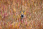 USA, Wyoming, Yellowstone National Park , montane subspecies of Red fox (Vulpes vulpes macroura) hunts for voles