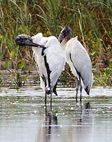 Pair of adult wood storks preening