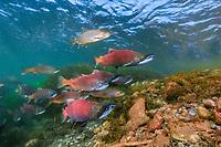 Red salmon, Oncorhynchus nerka and Rainbow trout, Oncorhynchus mykiss, Kokanee, East River, Colorado