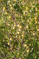 Stachelbeere, Wilde Stachel-Beere, Frucht, Ribes uva-crispa, Gooseberry, Groseillier à maquereau