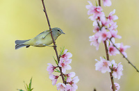Orange-crowned Warbler ( Vermivora celata), adult perched on blooming Peach tree (Prunus persica), Hill Country, Central Texas, USA