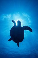 hawksbill turtle silhouette, Eretmochelys imbricata, Rangiroa, French Polynesia, Pacific Ocean